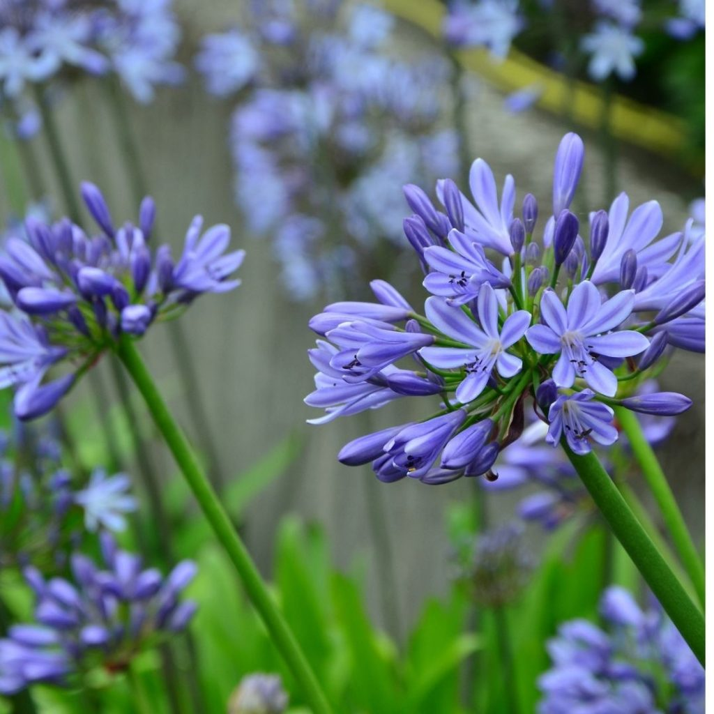 Agapanthus | Featured image for best plants for Brisbane Climate